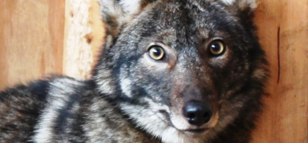 The Canids of the Poconos