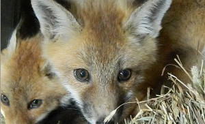 Foxes in a Boxes